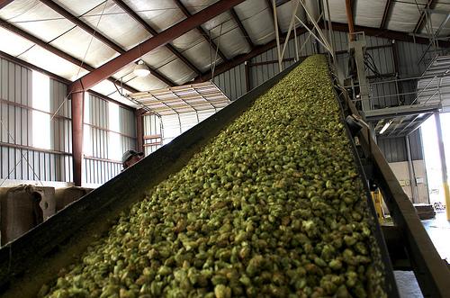 hops yakima1
